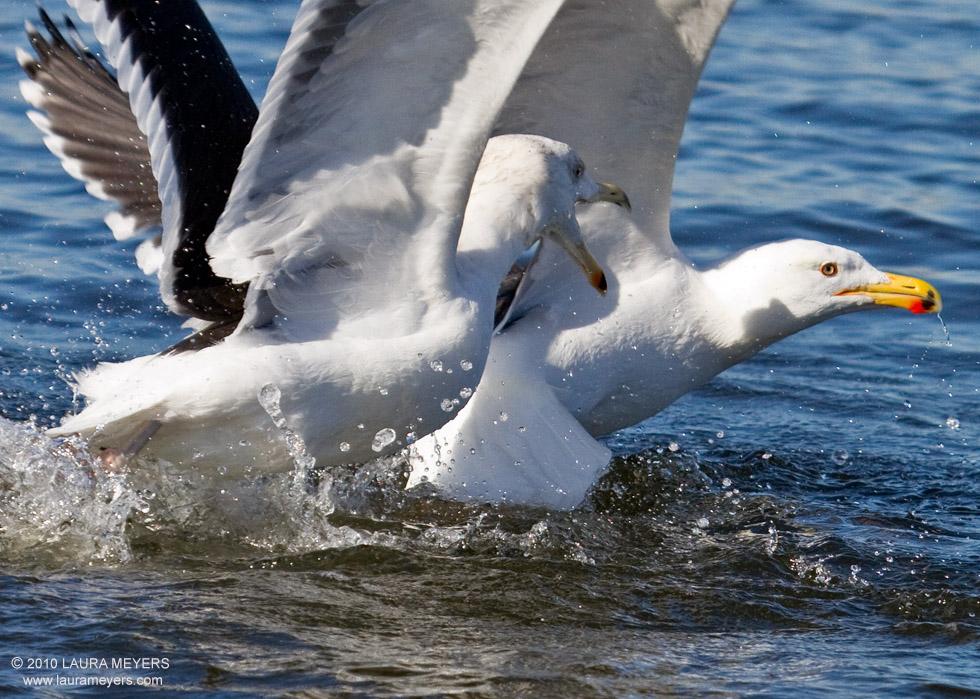 great-_black_backed-gulls