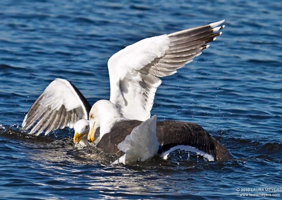 great_black-backed_gulls_1