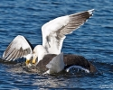 great_black-backed_gulls_1