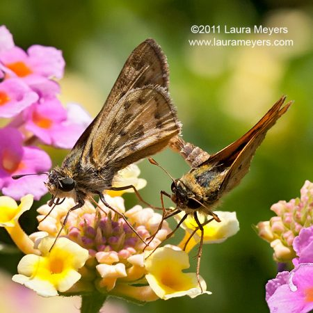 Fiery Skippers mating