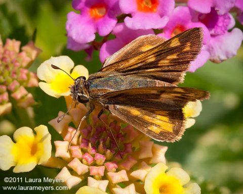 Long Dash Skipper Butterfly