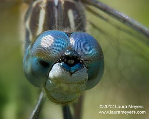 Blue Dasher Dragonfly Closeup