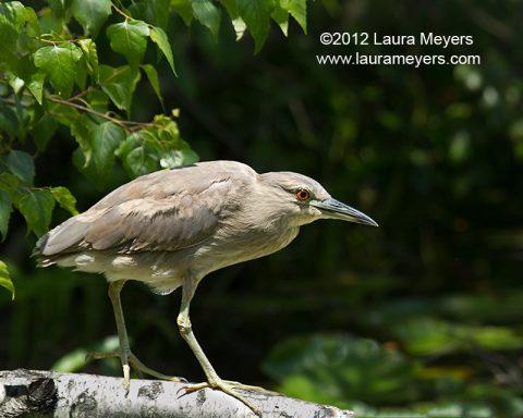 Yellow-crowned Night heron Immature
