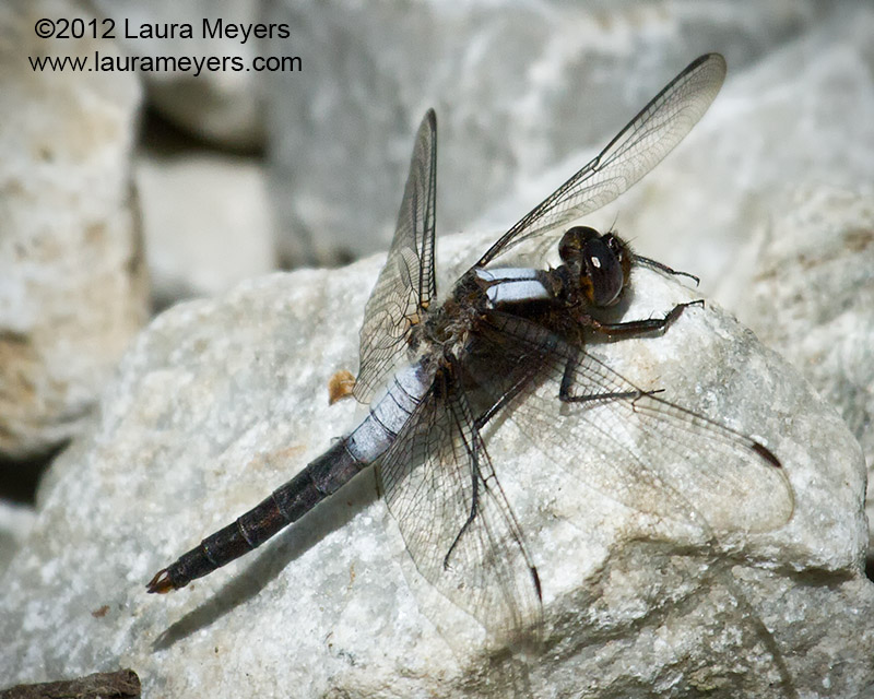 Chalk-front Corporal Dragonfly