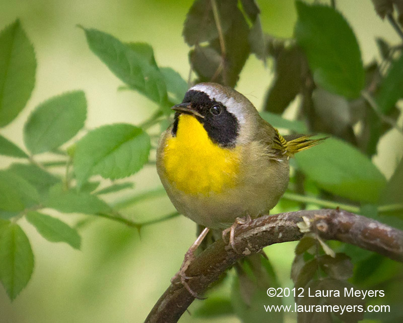 Common Yellowthroat Warbler Male