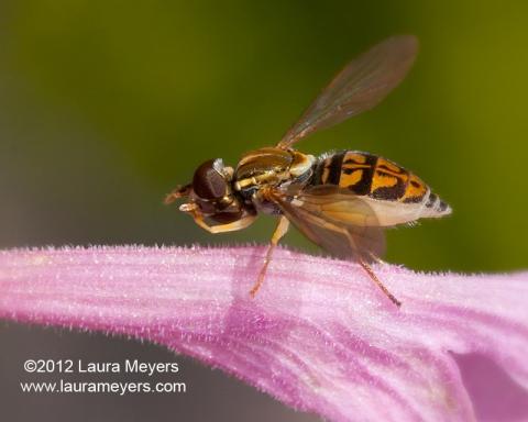Toxomerus-geminatus Hoverfly