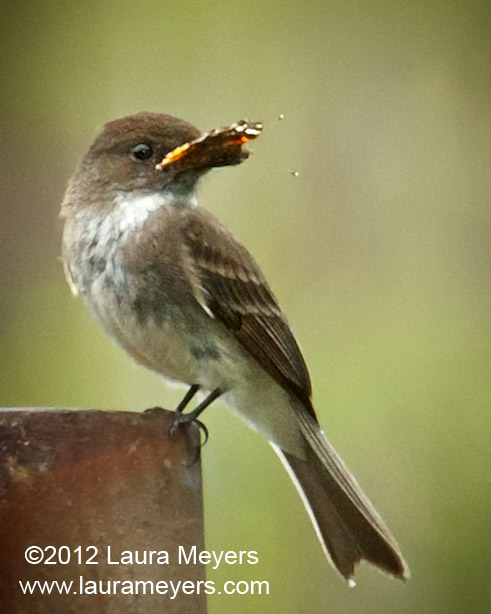 Eastern Phoebe with Red Admiral Butterfly