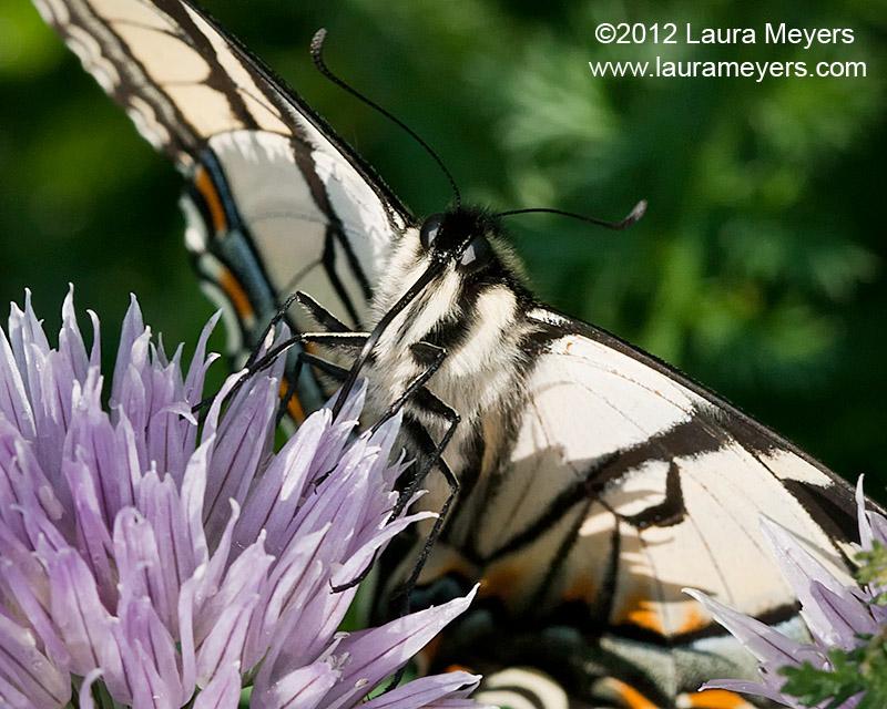 Eastern Tiger Swallowtail closeup