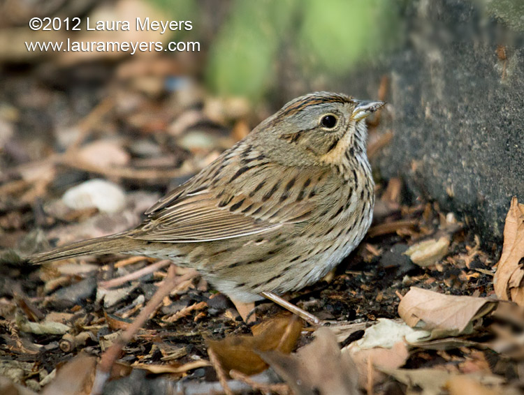 Lincoln\'s Sparrow