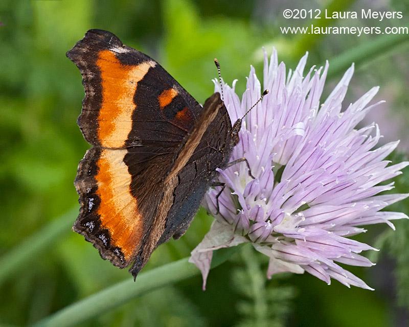 Milbert\'s Tortoiseshell Butterfly
