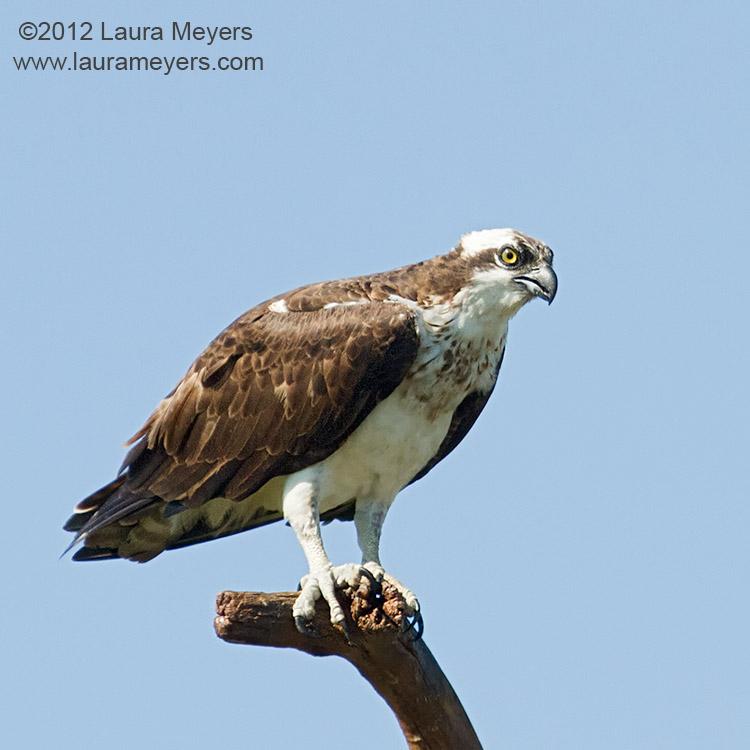 Osprey on Perch