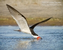 black_skimmer_nb_0582