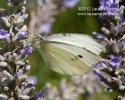 cabbage_white_butterfly_cp_2987