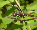 Common Whitetail Dragonfly Female