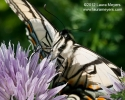 Eastern Tiger Swallowtail closeup