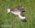 Willet in Flight