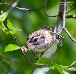 Rose-breasted Grosbeak female