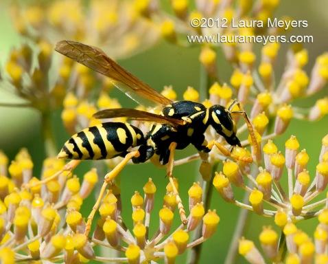 European Paper Wasp ( Polistes dominulus)