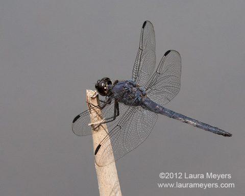 Slaty Skimmer Dragonfly Male