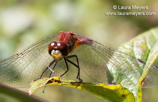 White-faced Meadowhawk Male Dragonfly