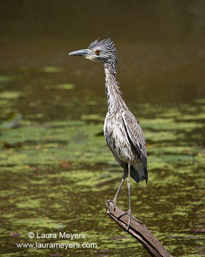 Yellow-Crowned Night-Heron Immature
