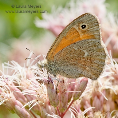 Common Ringlet Butterfly