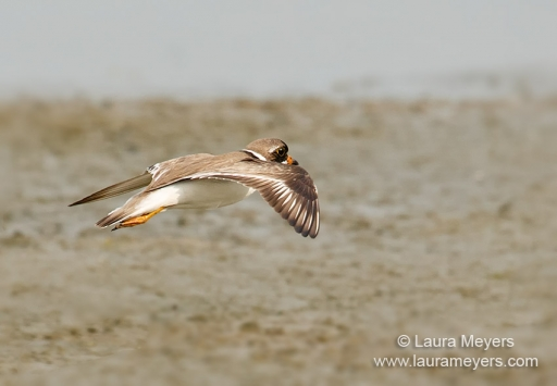 Semipalmated Plover in Flight