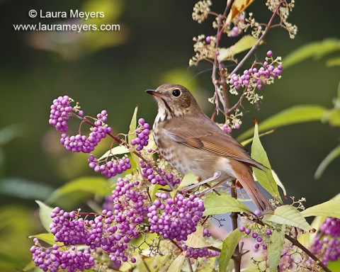 Hermit Thrush on Beautiful Purple Berry Bush