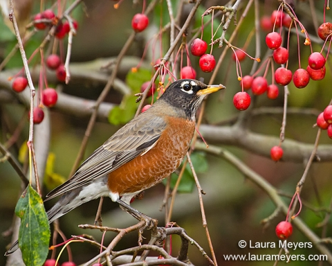 American Robin in Crab Apple Tree