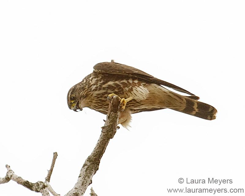 Merlin on Branch