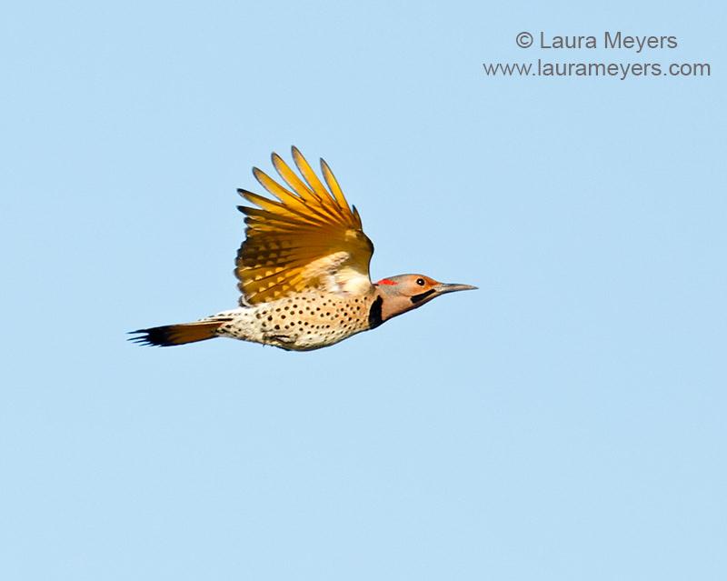 Northern Flicker in Flight