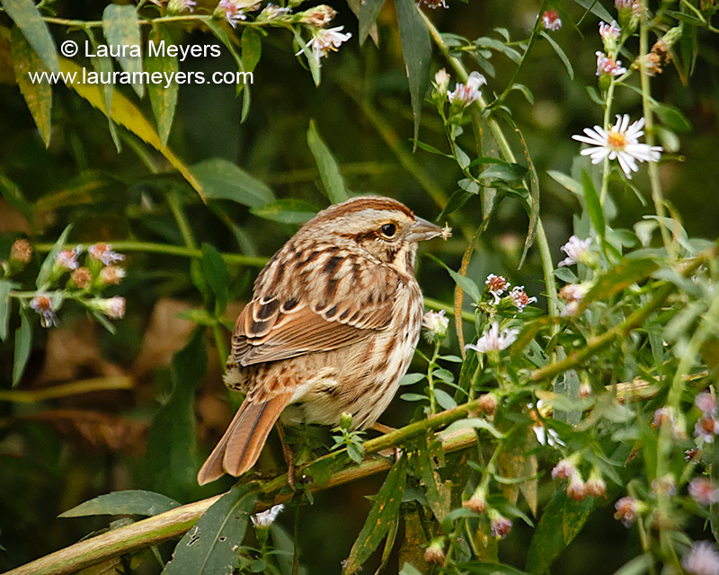Song Sparrow with Flower