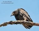 Black Vulture on Tree