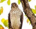 Cooper\'s Hawk