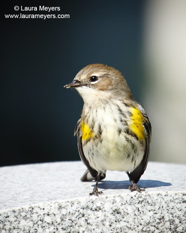 Yellow-rumped Warbler Adult Female