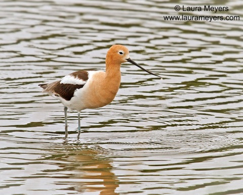 American Avocet Breeding Plumage