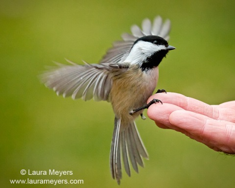 Black-capped Chickadee on Hand