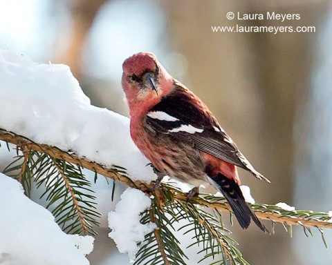 White-winged Crossbill Male