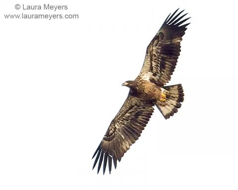 Bald Eagle Immature in Flight