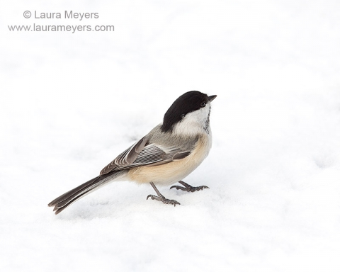 Black-capped Chickadee in Snow
