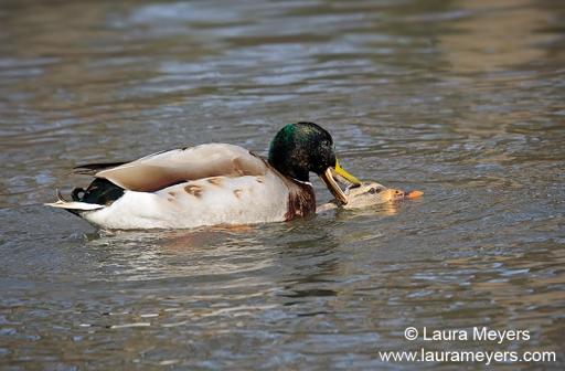 Mallard Ducks Copulating
