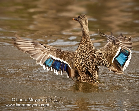 Female Mallard Duck with Wings Open