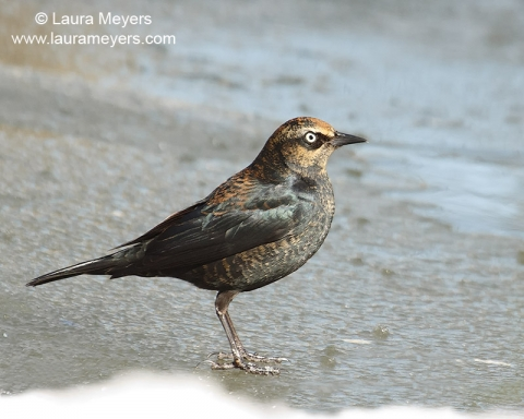 Rusty Blackbird Male Nonbreeding