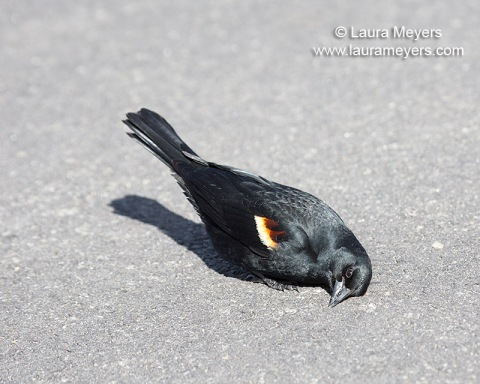 Red-winged Blackbird Male with Head on Ground