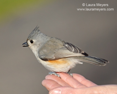 Tufted Titmouse on Hand