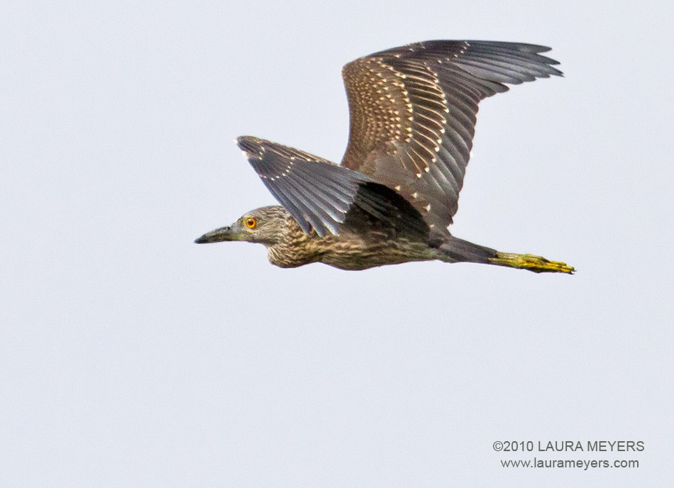 Night heron in flight - photo#6