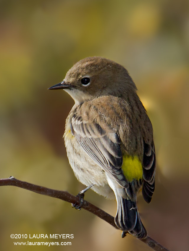 Yellow-rumped Warbler Archives - Laura Meyers Photography