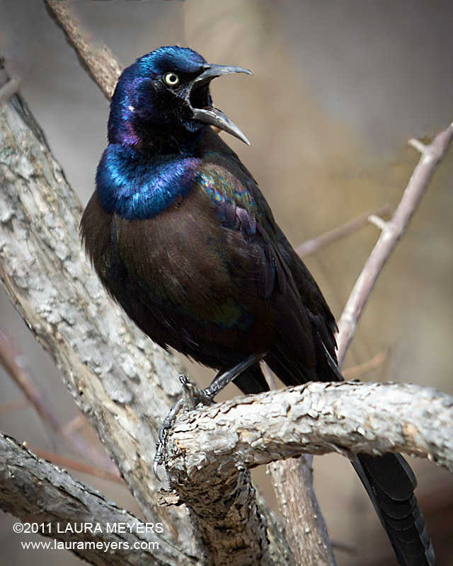 common grackle. of this Common Grackle was