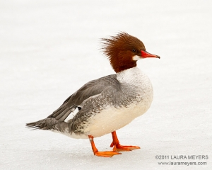 Common Merganser female on ice