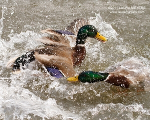 Mallard Ducks fighting